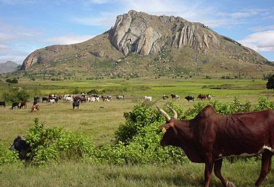 zébu paysage malgache